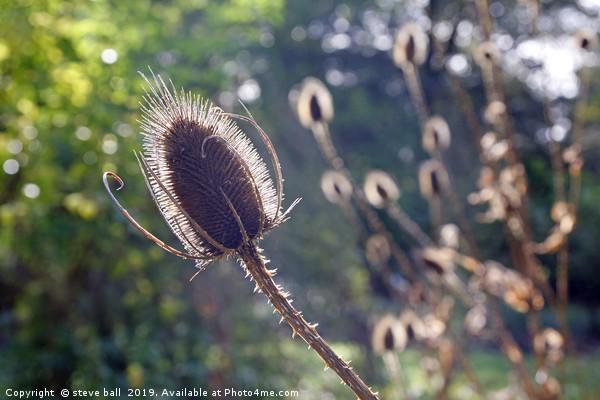 Teasel flower in Autumn sunlight Canvas Print by steve ball