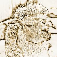 Buy canvas prints of alpaca llama pacos by Ornella Bonomini