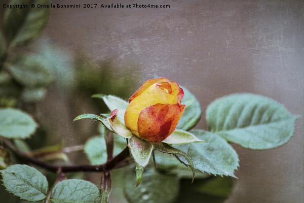 roses in the garden Canvas print by Ornella Bonomini