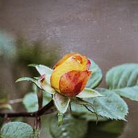 Buy canvas prints of roses in the garden by Ornella Bonomini