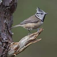 Buy canvas prints of Crested Tit by Bob Sharples