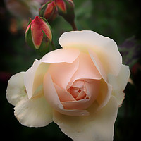Buy canvas prints of Pink Budding Rose by Philip Openshaw