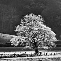 Buy canvas prints of Oak Tree Hoar Frost by John Potter