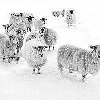 Buy canvas prints of Blizzard in Wharfedale by John Potter