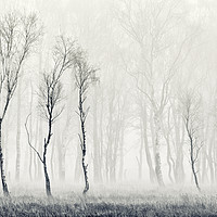 Buy canvas prints of Silver Birch Tapestry by John Potter
