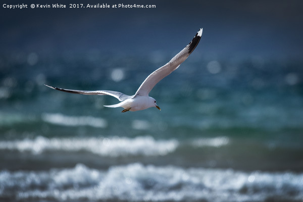 Seagull about to dive Framed Print by Kevin White