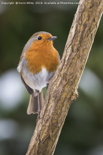 Robin Redbreast Canvas Print by Kevin White