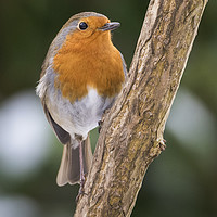 Buy canvas prints of Robin Redbreast by Kevin White