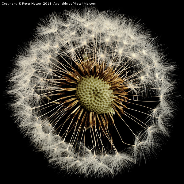 A close up of a Dandelion flower Canvas print by Peter Hatter