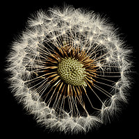 Buy canvas prints of A close up of a Dandelion flower by Peter Hatter
