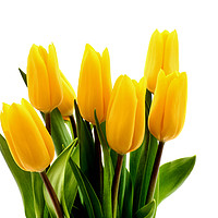 Buy canvas prints of A bunch of fresh yellow Tulips. by Peter Hatter