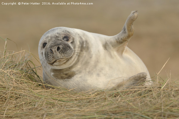 Grey Seal pup. Canvas print by Peter Hatter