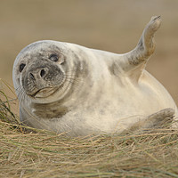 Buy canvas prints of Grey Seal pup. by Peter Hatter