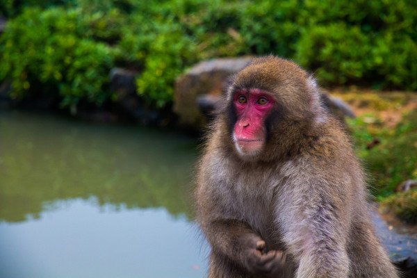 Japanese macaque (snow monkey), Kyoto, Japan. Framed Print by Kevin Livingstone