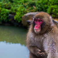 Buy canvas prints of Japanese macaque (snow monkey), Kyoto, Japan. by Kevin Livingstone