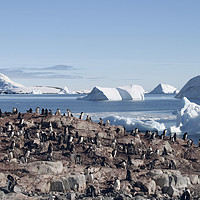 Buy canvas prints of Penguins in the Antarctic by maria munn