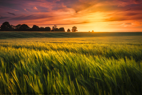 Sunset over a ripening wheat field Canvas print by Alan Hill
