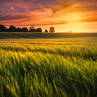 Buy canvas prints of Sunset over a ripening wheat field by Alan Hill