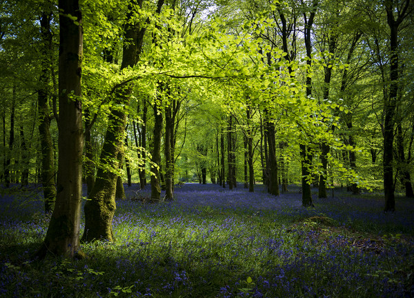 Sunlight shines through trees in bluebell woods Canvas print by Alan Hill