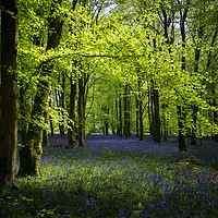 Buy canvas prints of Sunlight shines through trees in bluebell woods by Alan Hill