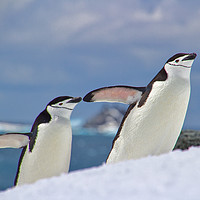 Buy canvas prints of Chinstrap friends by James Kenning
