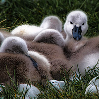 Buy canvas prints of A cygnet huddle by James Kenning
