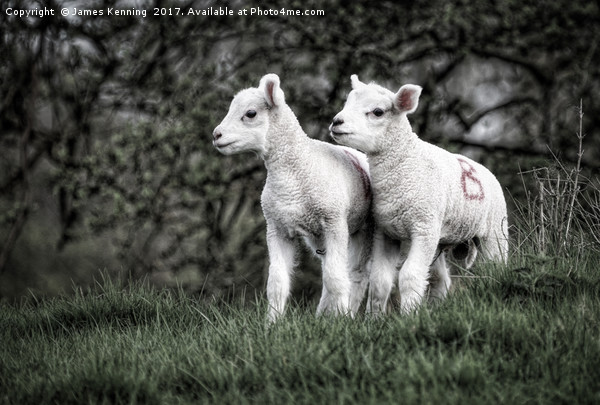 Pair of new born lambs Canvas Print by James Kenning