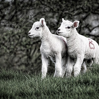 Buy canvas prints of Pair of new born lambs by James Kenning