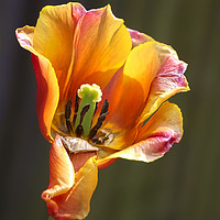 Buy canvas prints of Tulip colour burst by James Kenning