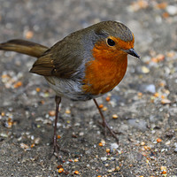 Buy canvas prints of Robin Redbreast by James Kenning