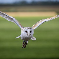 Buy canvas prints of Flight of the Barn Owl by James Kenning