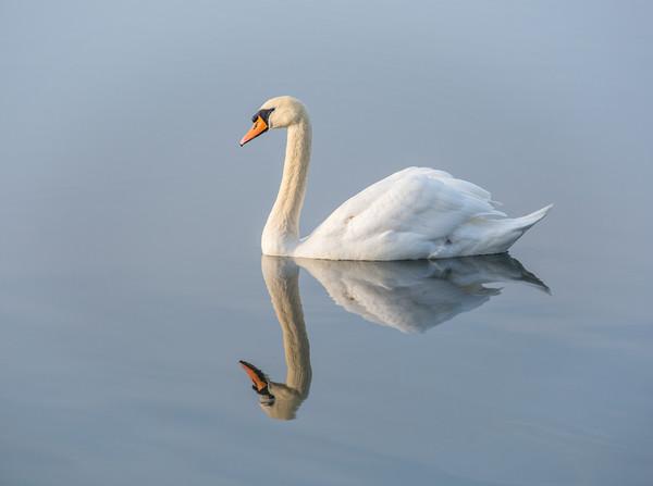 Serene Swan Framed Print by Dave Collins