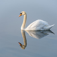 Buy canvas prints of Serene Swan by Dave Collins