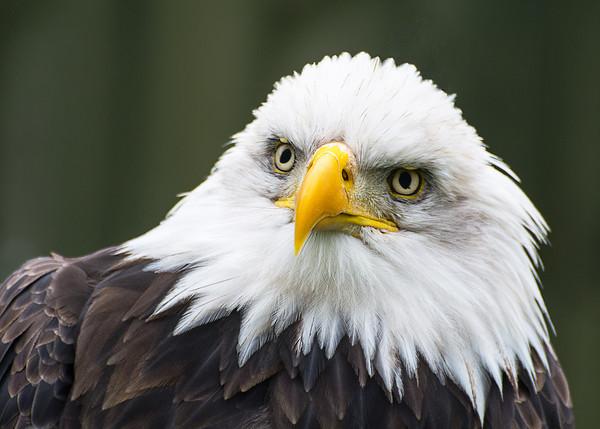 Bald Eagle Portrait Framed Print by Dave Collins