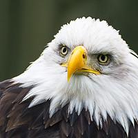 Buy canvas prints of Bald Eagle Portrait by Dave Collins