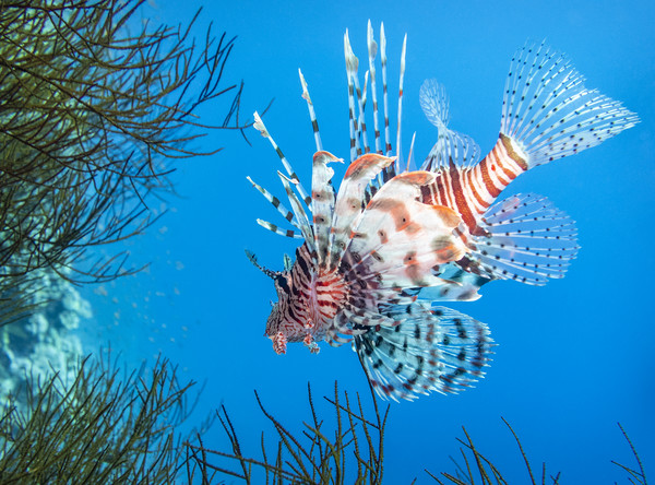 Lionfish, Red Sea, Egypt Framed Print by Dave Collins