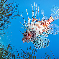 Buy canvas prints of Lionfish, Red Sea, Egypt by Dave Collins