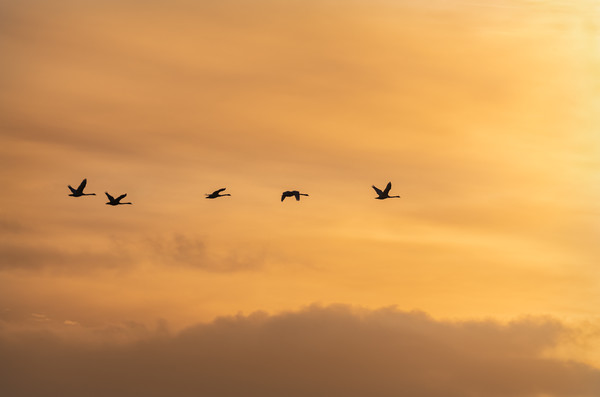 Flying Swan Silhouettes at Sunrise Framed Print by Dave Collins