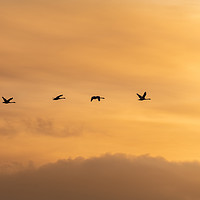 Buy canvas prints of Flying Swan Silhouettes at Sunrise by Dave Collins
