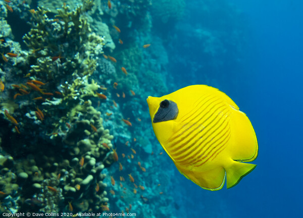 Masked Butterflyfish Framed Print by Dave Collins