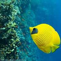 Buy canvas prints of Masked Butterflyfish by Dave Collins