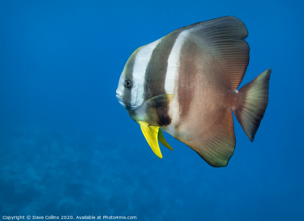 Batfish, The Maldives Framed Print by Dave Collins