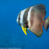 Buy canvas prints of Batfish, The Maldives by Dave Collins