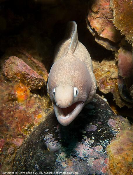 Moray eel, Myanmar Framed Print by Dave Collins