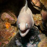 Buy canvas prints of Moray eel, Myanmar by Dave Collins