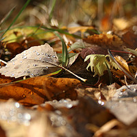Buy canvas prints of Autumn leaves by Larisa Siverina