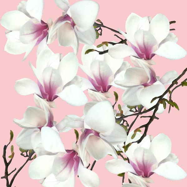 White magnolia Canvas print by Larisa Siverina