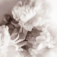 Buy canvas prints of White peony by Larisa Siverina
