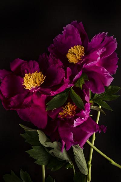 Pink flower peony bouquet macro bokeh background   Canvas print by Larisa Siverina
