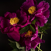 Buy canvas prints of Pink flower peony bouquet macro bokeh background   by Larisa Siverina